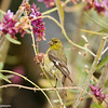A Lesser Goldfinch (female)