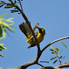A Hooded Oriole (juvenile male) preening his tail feathers