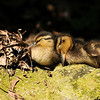 Sleeping Mallard Ducklings