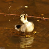 A duckling trying to catch the fly!
