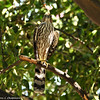 Cooper's Hawk (juvenile) in the tangerine tree in my backyard.