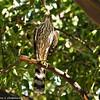 Cooper's Hawk (juvenile) in the tangerine tree in my backyard.