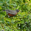 An American Robin eating the fruit of a Chinese Fringe Tree
