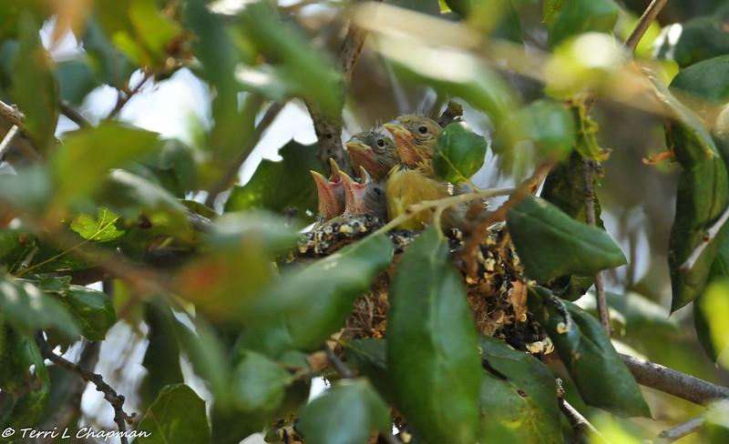 Lesser Goldfinch babies