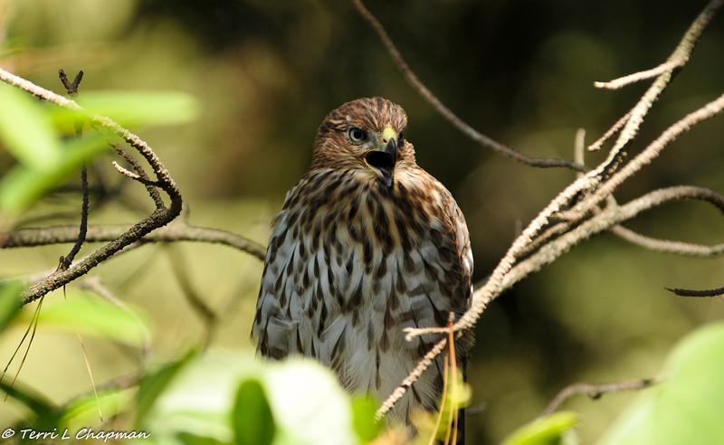 Cooper's Hawk (juvenile) calling to his siblings