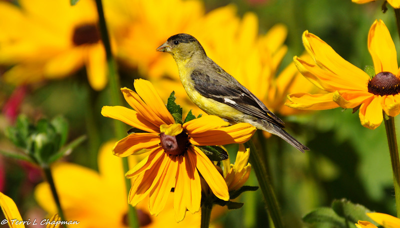 Lesser Goldfinch (male) eating the leaves of a coneflower