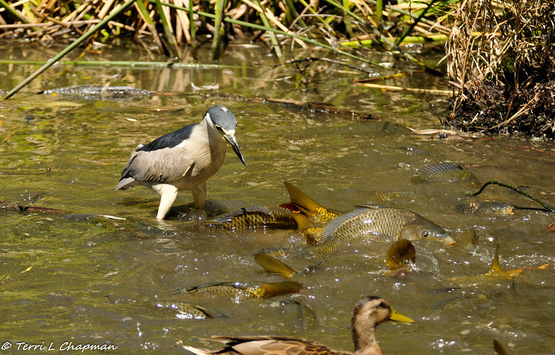 A Black-crowned Night Heron waiting patiently (and bracing) for a smaller fish to come his way!