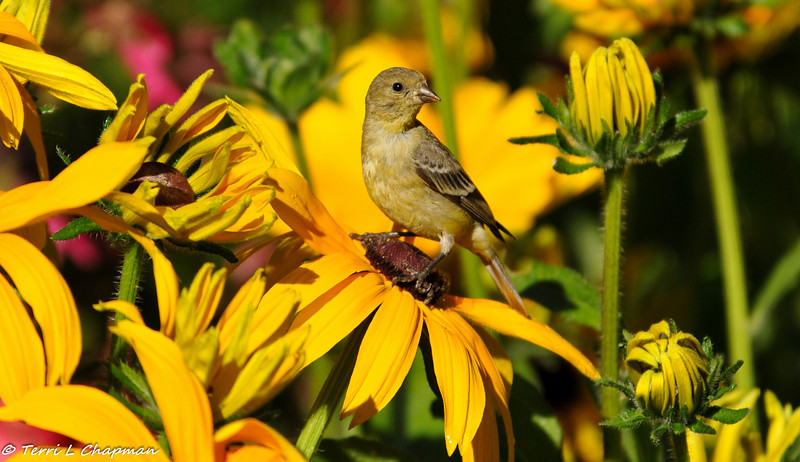 Lesser Goldfinch (female) perched on a coneflower