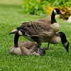 Canada Geese - two youngsters and their mother.