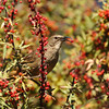 A California Thrasher eating berries from a Nevin's Barberry bush