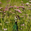 Peahen mother searching for food in a field of Yarrow flowers
