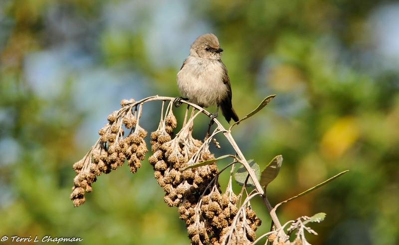 A male Bushtit perched on Coastal silver-oak