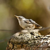White-breasted Nuthatch (female)