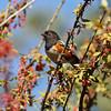 A Spotted Towhee eating berries from a Nevin's Barberry bush