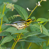 Townsend's Warbler searching for insects on the back of leaves