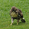 A Red-tailed Hawk (juvenile) hunting for worms on the lawn