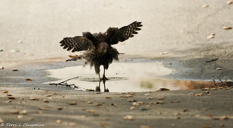 Cooper's Hawk (fledgling) playing in a puddle of water