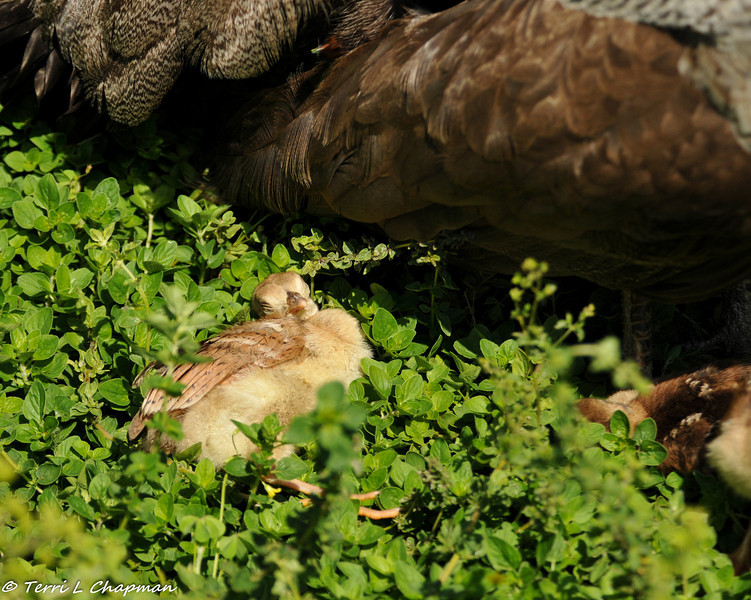 Peachick taping a nap in the sun. Being a baby is exhausting!