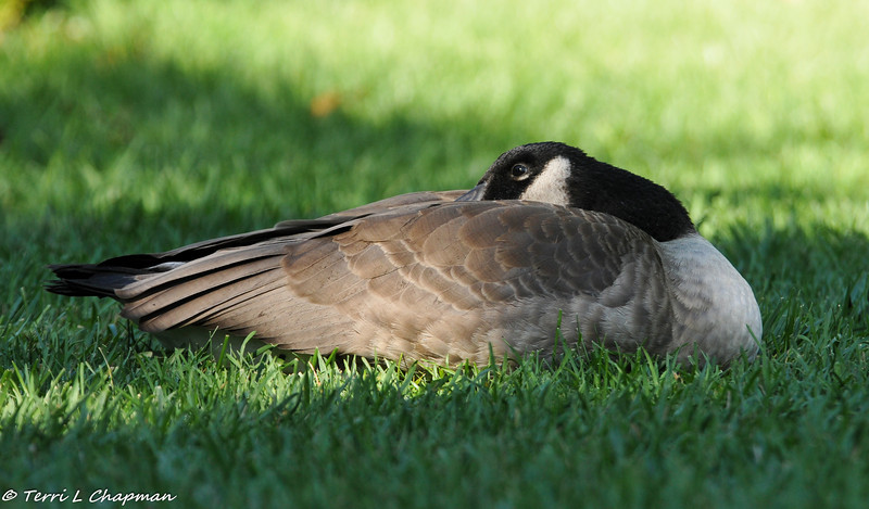 Canada Goose resting (this is a 10 week old goose who is just about ready to learn to fly)