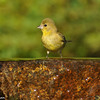 Lesser Goldfinch (female) getting ready to take a drink from a fountain