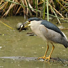 A Black-crowned Night Heron with his breakfast