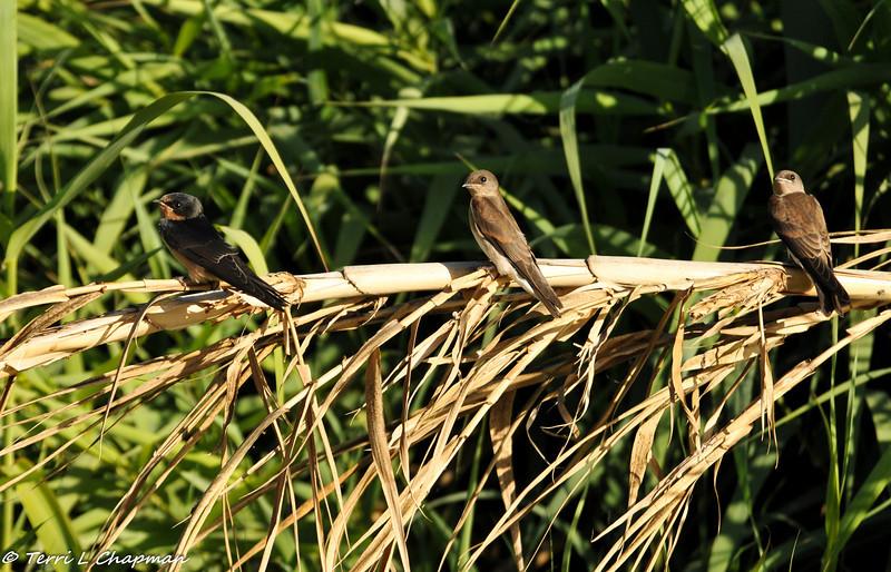 Barn Swallow and Bank Swallows