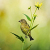 Lesser Goldfinch (female)