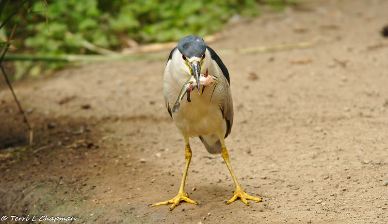 A Black-crowned Night Heron takes his breakfast on land to eat it
