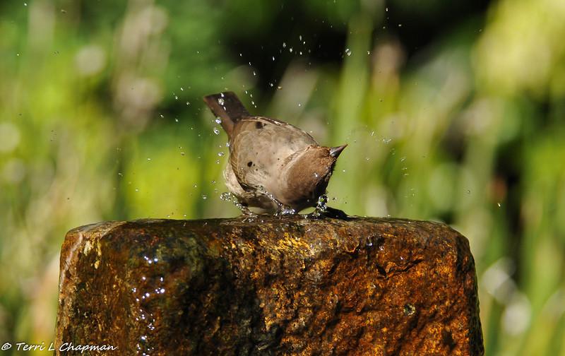 California Towhee bathing