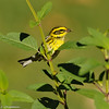 Townsend's Warbler with an insect in its beak