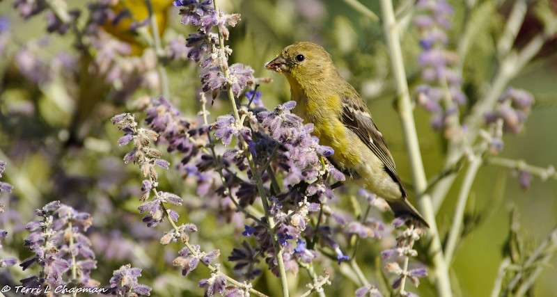 Lesser Goldfinch (female) eating the blooms of a salvia plant