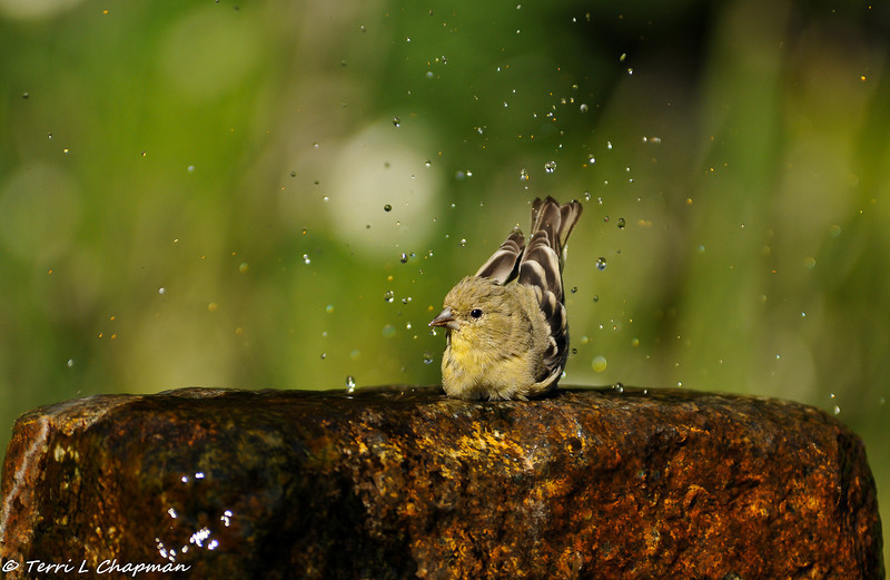 A Lesser Goldfinch (female) bathing