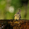 A Lesser Goldfinch (female) bathing
