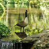 Adult male Canada Goose staying cool on a hot summer day