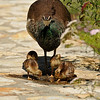 A Peahen with her Peachicks drinking from a puddle