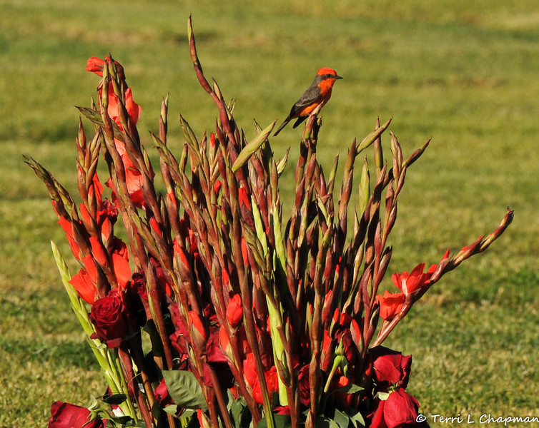 A Vermilion Flycatcher, perched on a floral arrangement, at the Oakdale Cemetery in Glendora, CA. This bird was photographed on November 28, 2014.