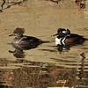 A female (in the front) and male Hooded Merganser