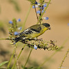 A male Lesser Goldfinch