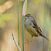 A female House Sparrow, hanging from the meshing on a bird enclosure at the Santa Barbara zoo, in order  to eat bamboo leaves.