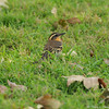 A female Varied Thrush resting in grass