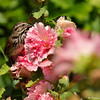 A Song Sparrow perched in a double flower Hollyhock plant