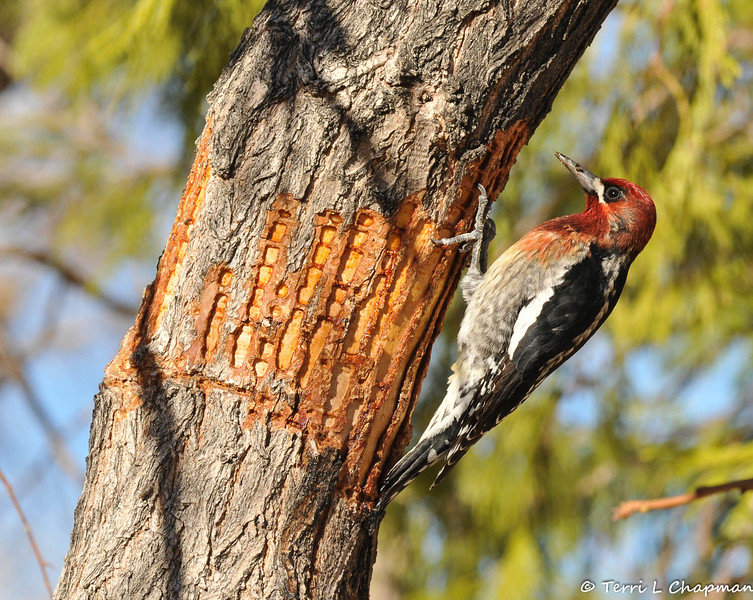 A Red-breasted Sapsucker,  stationed by the shallow holes it drilled in the bark of the tree, and waiting to lick up the sap.