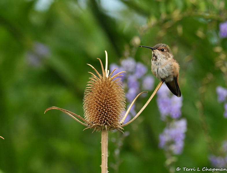 A male Allen's Hummingbird perched on top of a dried Thistle seed pod