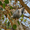 A Band-tailed Pigeon in a Ficus religiosa Bo tree