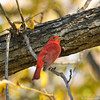 This male Summer Tanager that was photographed by the LA River on November 25, 2014.