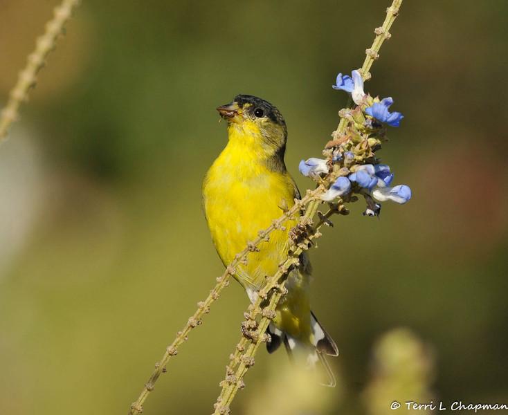 A male Lesser Goldfinch