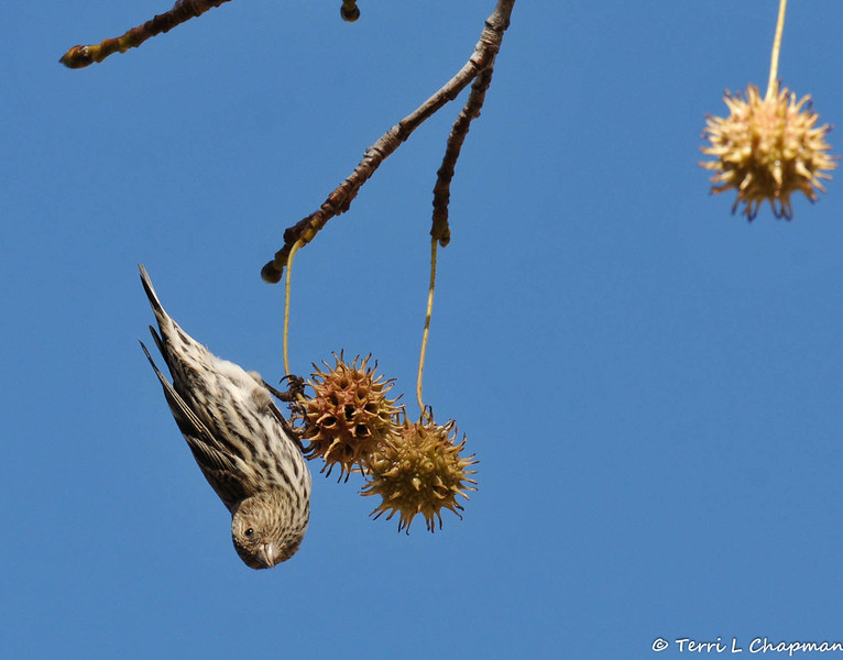 A female Pine Siskin looking for seeds