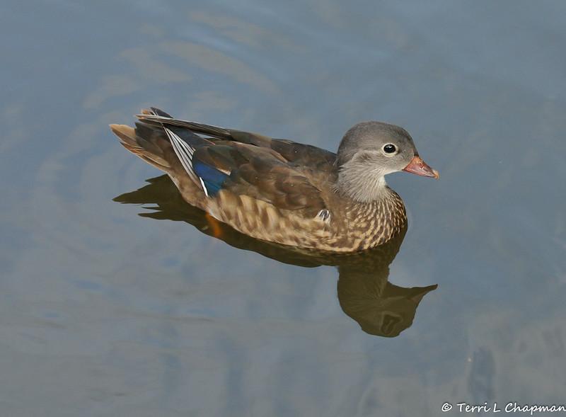 A female Mandarin Duck