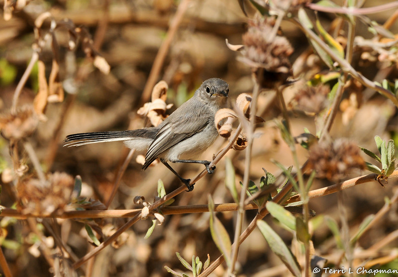 A Blue-gray Gnatcatcher looking for insects in a sage bush