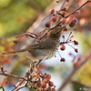 A Hermit Thrush reaching for a berry